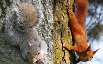 """""""Salviamo lo scoiattolo rosso"""": i passi avanti del progetto di monitoraggio"""