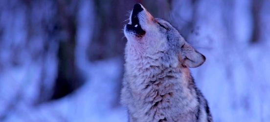Una serata naturalistica… da lupi