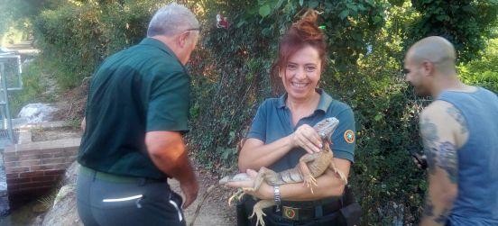 L'iguana delle Groane ora è all'Enpa