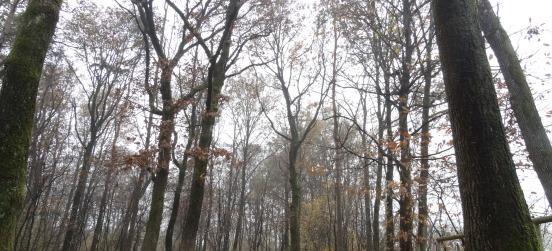 Due alberi monumentali nel Parco delle Groane