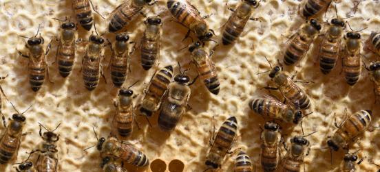 """Corso online """"Introduzione all'apicoltura"""" con Groape"""